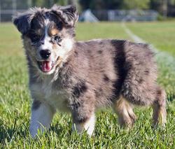 Rusty, chien Berger australien