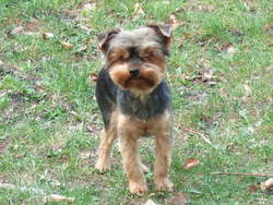 Pearl, chien Yorkshire Terrier