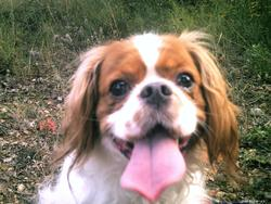 Rouky, chien Cavalier King Charles Spaniel