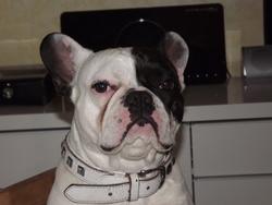 Diddl, chien Bouledogue français