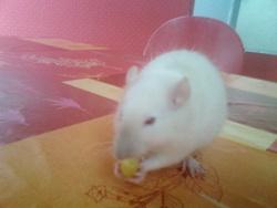 Hyma, rongeur Rat