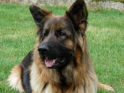 Clarabelle, chien Berger allemand