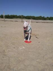 Eve, chien Bull Terrier