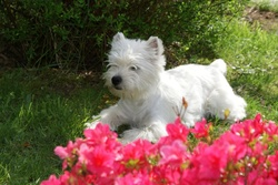 Dilou, chien West Highland White Terrier