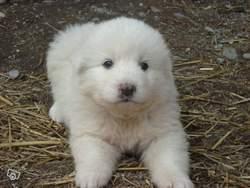 Pitou, chien Chien de montagne des Pyrénées