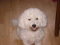 Tchoup, chien Bichon à poil frisé