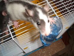 Pouik, rongeur Rat