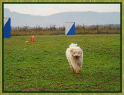 Celia, chien Berger des Pyrénées