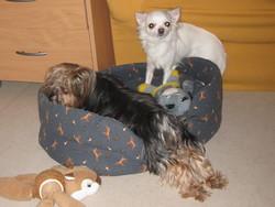 Nity, chien Chihuahua