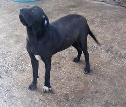 Escosia, chien Fila brasileiro