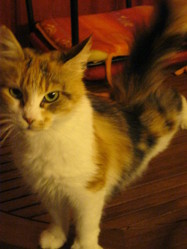 Donoma, chat Maine Coon