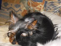 Faithmoothy, chien Yorkshire Terrier