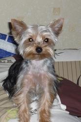 Elga, chien Yorkshire Terrier