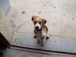 Djhon, chien Beagle