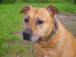 Goliath, chien American Staffordshire Terrier