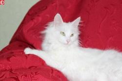 Epsilone, chat Angora turc