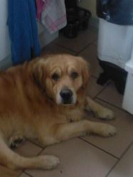 Brad, chien Golden Retriever