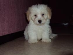 Enzo, chien Coton de Tuléar