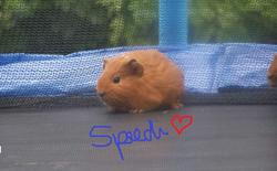 Speedi, rongeur Cochon d'Inde