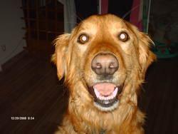 Frisby, chien Retriever de la Nouvelle-Écosse