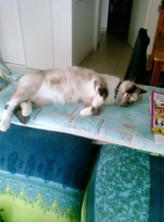 Shaîna, chat Siamois