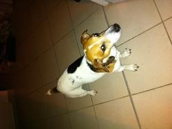 Spikie, chien Jack Russell Terrier