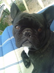 Eden, chien Bouledogue français