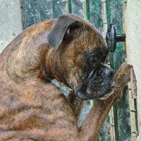 Tysen, chien Boxer