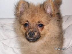 Kiki, chien Spitz finlandais