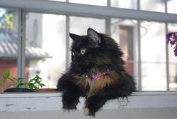 Romina, chat Européen