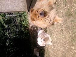 Roxie, chien Chow-Chow