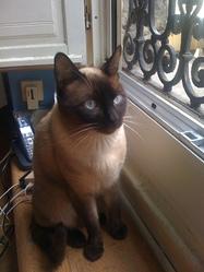 Eliot, chat Thaï