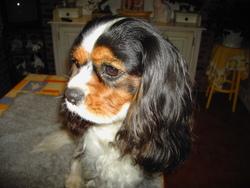 Vidok, chien Cavalier King Charles Spaniel