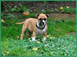 Grif, chien American Staffordshire Terrier