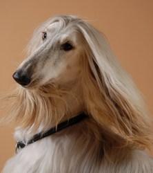 Caruso, chien Lévrier afghan