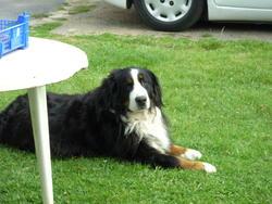 Nana, chien Bouvier bernois