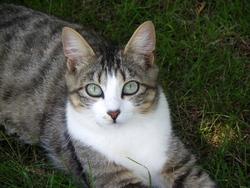 Clochette, chat Gouttière