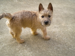 Feeling, chien Cairn Terrier