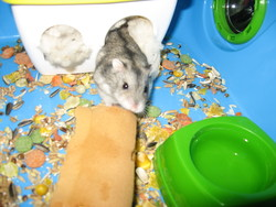 Jason, rongeur Hamster