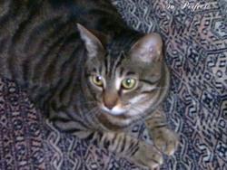 Lèo, chat Gouttière