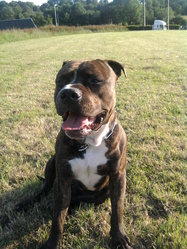Tyco, chien American Staffordshire Terrier