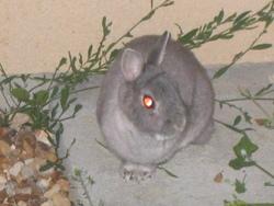 Rox, rongeur Lapin
