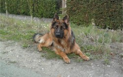 Major, chien Berger allemand