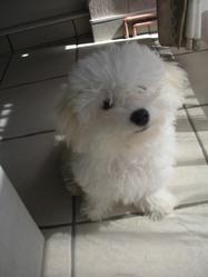 Eole, chien Bichon bolonais