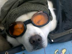 Unoki, chien Akita Inu