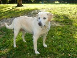 Tina, chien Labrador Retriever