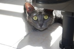 Yoshi, chat Chartreux