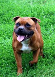 Delilah, chien Staffordshire Bull Terrier