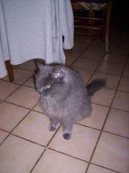 Doudou, chat Persan