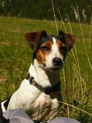 Brooklyne, chien Jack Russell Terrier